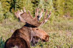 Large Bull Moose in Summer Velvet Royalty Free Stock Images