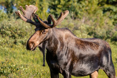 Large Bull Moose in Summer Velvet Royalty Free Stock Photography