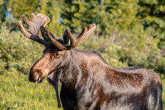 Large Bull Moose in Summer Velvet Stock Images