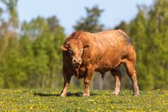 Large bull in a pasture Royalty Free Stock Photo