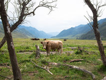 A large bull standing in a clearing near the stump on a background of mountains Stock Photos