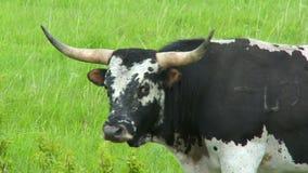 Large Bull stock footage