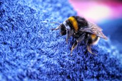 Detail of the large bumble bee Stock Photography