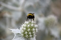 The large bumblebee drnking nectar on weed flower. The large bumblebee with black and orange long hair drnking the nectar on white, light green and light pink stock photos