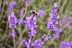 Large Bumblebee on Lavender. Close-up of a bumblebee collecting pollen from a lavender flower Royalty Free Stock Images