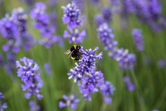 Large Bumblebee on Lavender flower in New Zealand Stock Image
