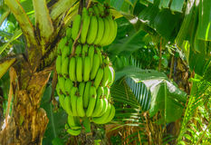 A large bunch of bananas on a tree Royalty Free Stock Photography