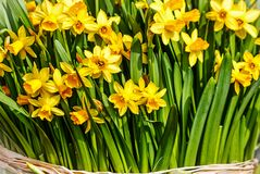 A large bunch of fresh daffodils Stock Image