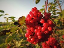 A large bunch of fresh viburnum on branch. stock images