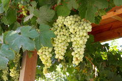 A large bunch of grapes. On the island of Crete. Greece Royalty Free Stock Photo