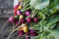 Large bunch of radishes. Large bunch of colorful organic radishes on the table Royalty Free Stock Photo