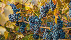 Large bunch of red wine grapes hang from a vine. Ripe grapes with green leaves. Wine concept Royalty Free Stock Photo