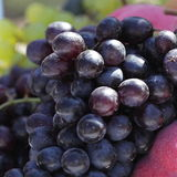 Large bunch of red wine grapes. Hang from a vine, warm Stock Images