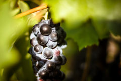 Large bunch of red wine grapes hang from a vine, warm Royalty Free Stock Photography