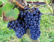 Large bunch of red wine grapes hang from a vine Royalty Free Stock Photo