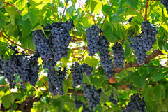 Large bunch of red wine grapes. Ripe grapes with green leaves. Nature background with Vineyard. Wine concept Royalty Free Stock Photos