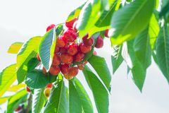 A large bunch of ripe cherries under leaves against a clear sunny sky background royalty free stock photography