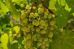 Large bunch of white grapes on the vine. Autumn harvest of grapes. Grapes lat. Vítis called the berry of life. Vineyards of Abrau-Durso. Blurred focus stock photography