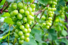 Large bunch of white wine grapes hang from a vine with green leaves. royalty free stock photos