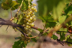 Large bunch of white wine grapes hang from a vine. Royalty Free Stock Image