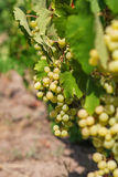 Large bunch of white wine grapes hang from a vine. Stock Photo