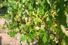 Large bunch of white wine grapes hang from a vine. Royalty Free Stock Images