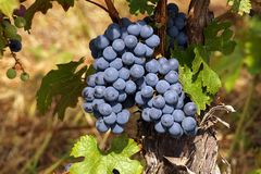 Large bunches of grapes on bushes illuminated with full southern sun. Ripening grapes stock photos