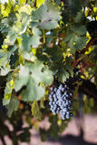 Large bunches of red wine grapes. Hang from an old vine Royalty Free Stock Photo