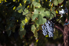 Large bunches of red wine grapes. Hang from an old vine Stock Photography