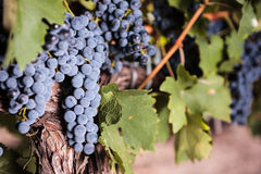 Large bunches of red wine grapes stock images