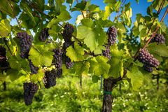 Large bunches of red wine grapes hang from an old vine stock images