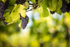 Large bunches of red wine grapes hang from an old vine royalty free stock photography