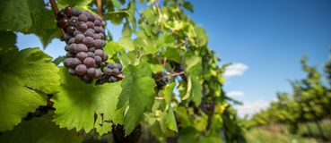 Large bunches of red wine grapes hang from an old vine royalty free stock photo