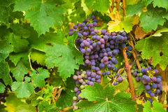 Large bunches of red wine grapes Royalty Free Stock Image