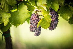 Large bunches of red wine grapes Royalty Free Stock Photo