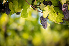Large bunches of red wine grapes Royalty Free Stock Photography