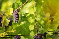Large bunches of red wine grapes hang from an old vine Stock Photos