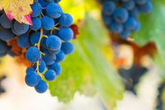 Large bunches of red wine grapes hang from an old vine in warm a Royalty Free Stock Photos