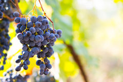 Large bunches of red wine grapes hang from an old vine in warm a Royalty Free Stock Photography