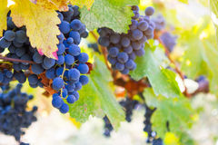 Large bunches of red wine grapes hang from an old vine in warm a Stock Photos