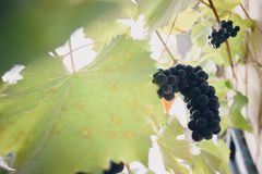 Large bunches of red wine grapes hang from an old vine in warm daylight stock photos
