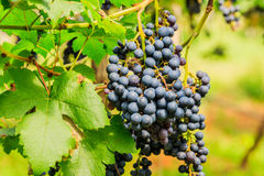 Large bunches of red wine grapes hang from a vine, warm backgro Royalty Free Stock Photography