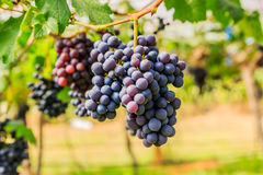 Large bunches of red wine grapes hang from a vine, warm backgro Stock Image