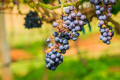 Large bunches of red wine grapes hang from a vine, warm backgro Royalty Free Stock Photos