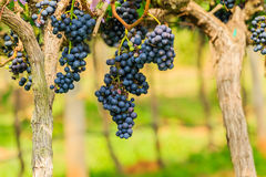 Large bunches of red wine grapes hang from a vine, warm backgro Royalty Free Stock Images