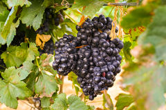 Large bunches of wine grapes Stock Image
