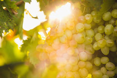 Large bunches of yellow grapes in the garden at sunset. Garden Royalty Free Stock Photos