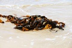 Large bundle of kelp (seaweeds) Stock Image