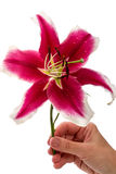 Large burgundy lily in hand Stock Image