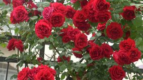 Large bush with blooming red roses for vertical gardening. after the rain. 4k, slow-motion shooting stock video